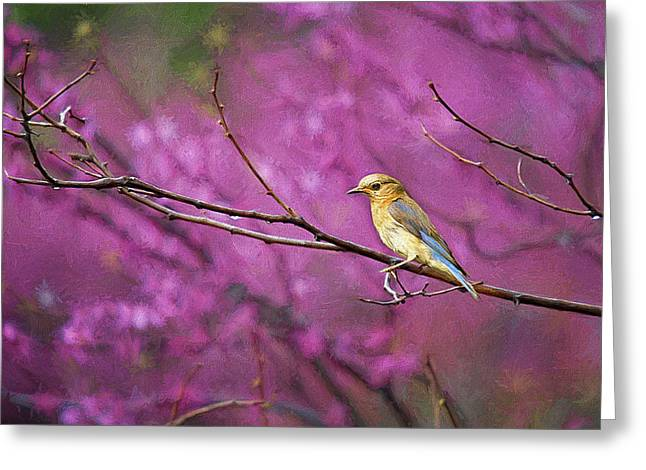 Bluebird And Redbuds Greeting Card by Darren Fisher