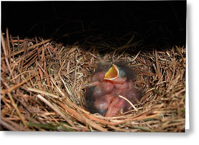 Greeting Card featuring the photograph Bluebird Babies by Marie Hicks