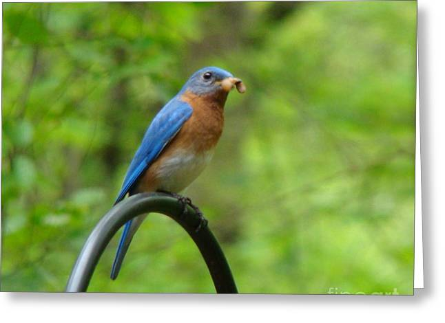 Bluebird Catches Worm Greeting Card