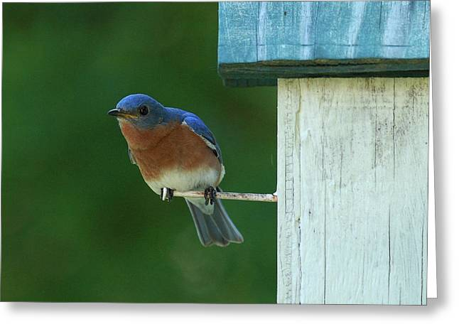 Bluebird Greeting Card by Douglas Stucky