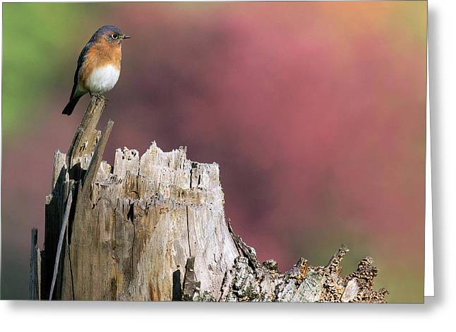 Bluebird Fall Perch Greeting Card