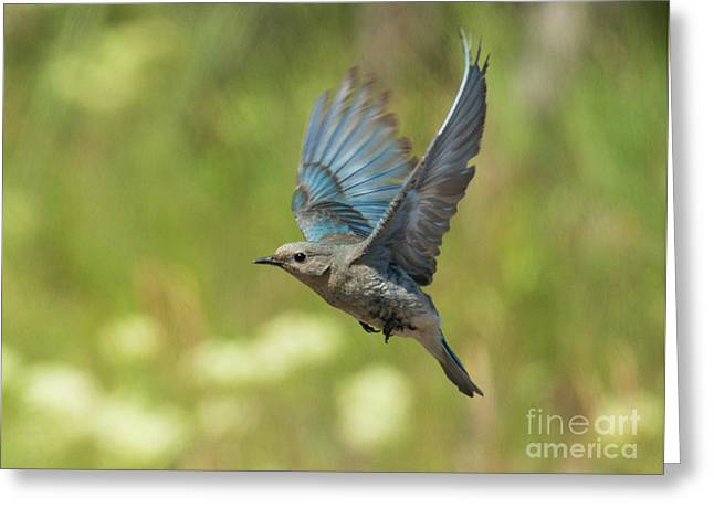 Bluebird Hover Greeting Card by Mike Dawson