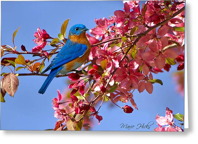 Bluebird In Apple Blossoms Greeting Card