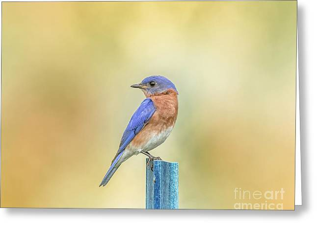 Bluebird On Blue Stick Greeting Card by Robert Frederick