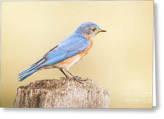 Bluebird On Fence Post Greeting Card by Robert Frederick