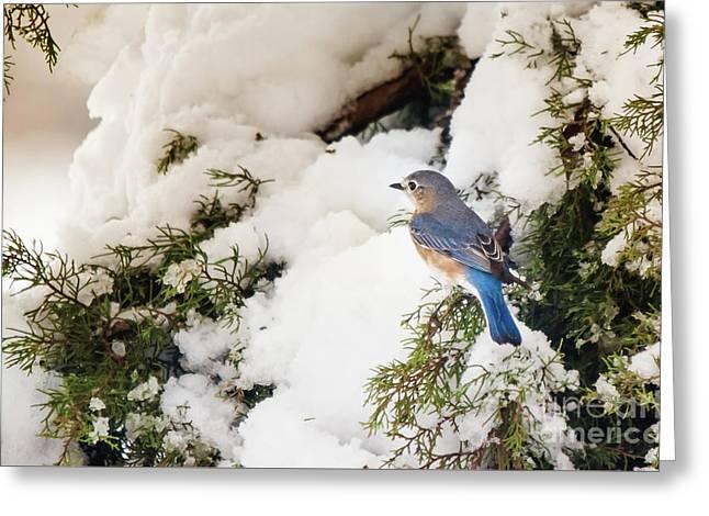 Greeting Card featuring the photograph Bluebird On Snow-laden Cedar by Robert Frederick