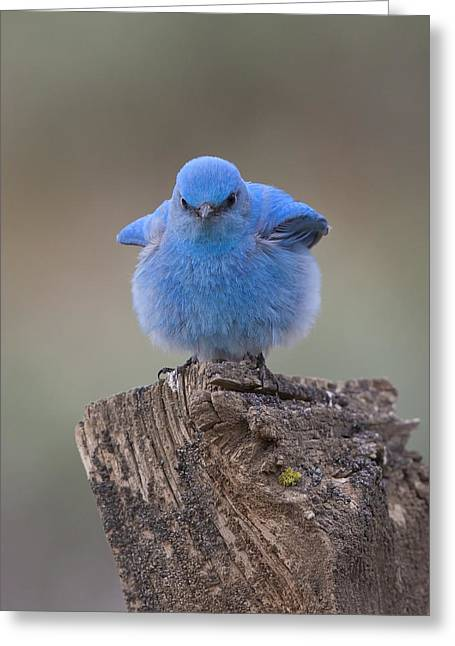Bluebird With An Attitude Greeting Card by Bruce Benson