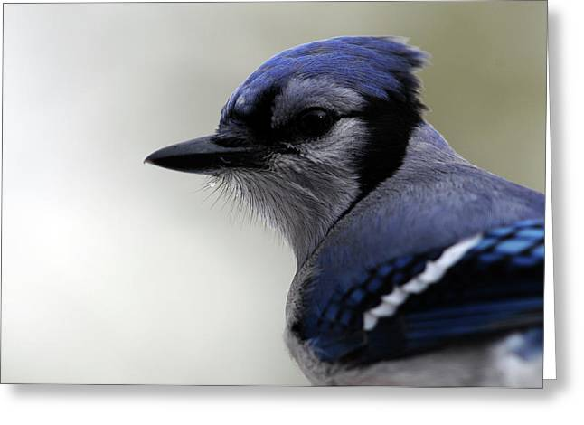 Bluejay Greeting Card by Mike Martin