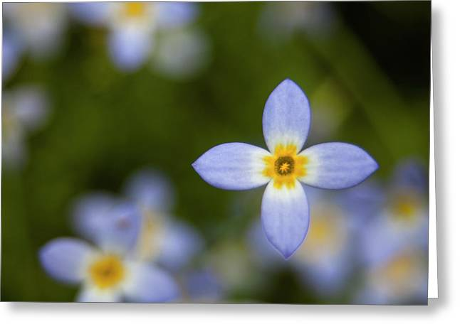 Bluets In The Smokies Greeting Card by Andrew Soundarajan