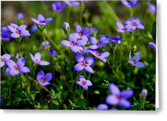 Greeting Card featuring the photograph Bluets by Kathryn Meyer