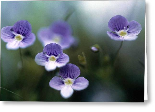 Bluettes Greeting Card by Laurie Paci