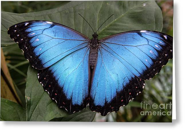 Blue Morph Greeting Card