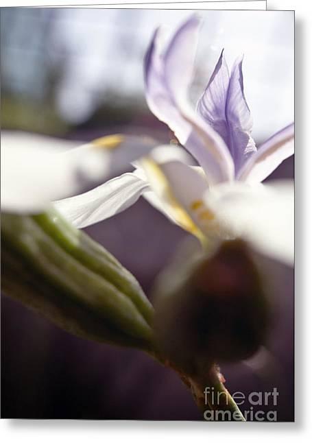 Blurred Iris Greeting Card