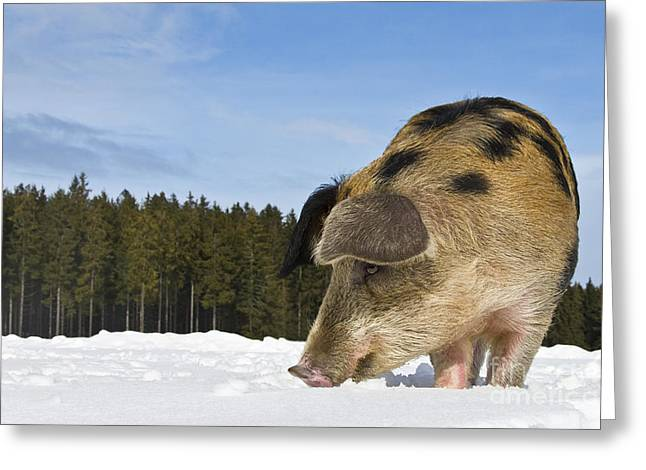 Boar Digging In The Snow Greeting Card by Jean-Louis Klein & Marie-Luce Hubert