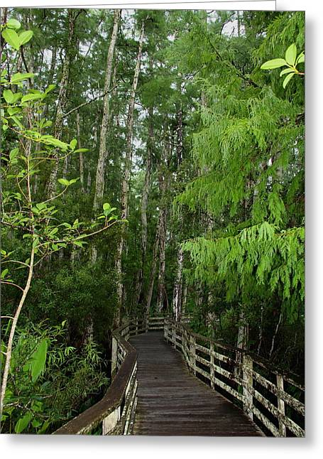 Boardwalk Through The Bald Cypress Strand Greeting Card by Barbara Bowen