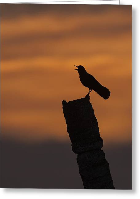 Boat-tailed Grackle At Sunset Greeting Card