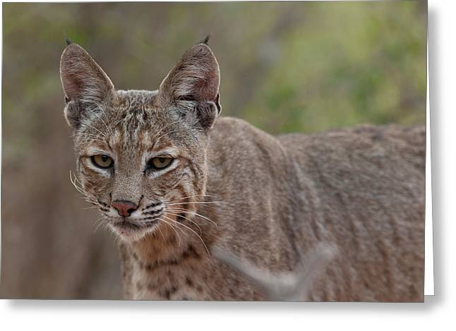 Bobcat - 01 Greeting Card by George Phile