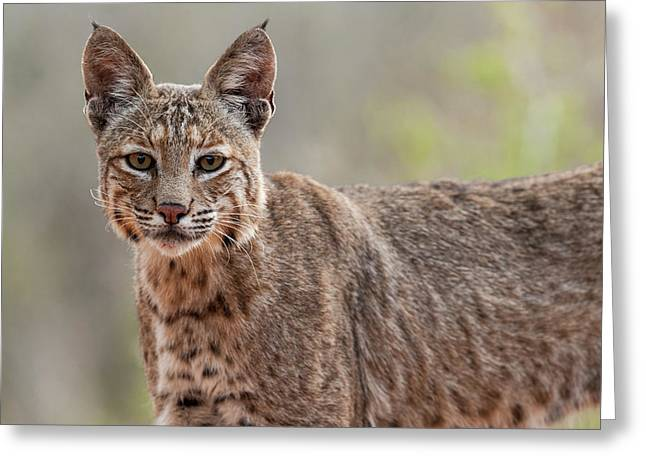 Bobcat - 02 Greeting Card by George Phile