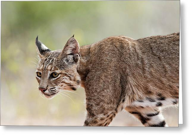 Bobcat - 04 Greeting Card by George Phile