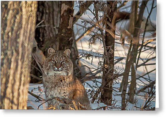 Greeting Card featuring the photograph Bobcat by Brenda Jacobs