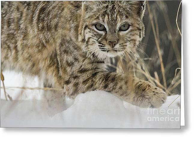 Bobcat Comes Close Greeting Card by Carol Walker