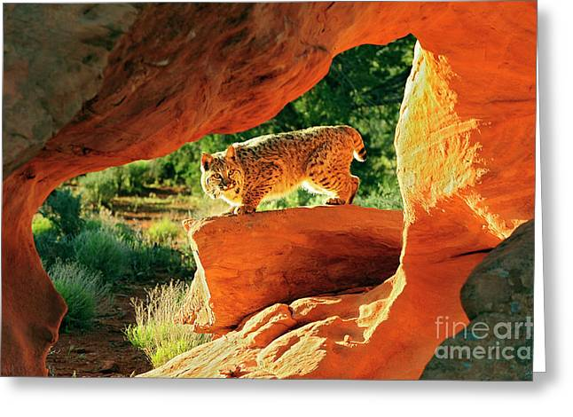 Bobcat Greeting Card by Dennis Hammer