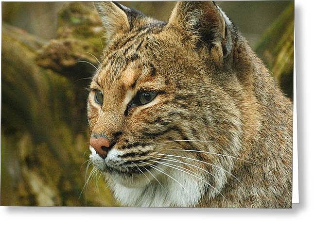 Bobcat Greeting Card by Dick Wood