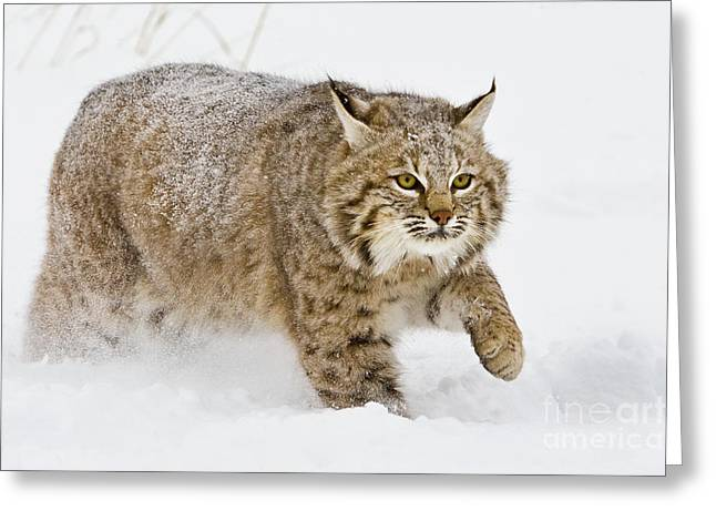 Bobcat In Snow Greeting Card by Jerry Fornarotto