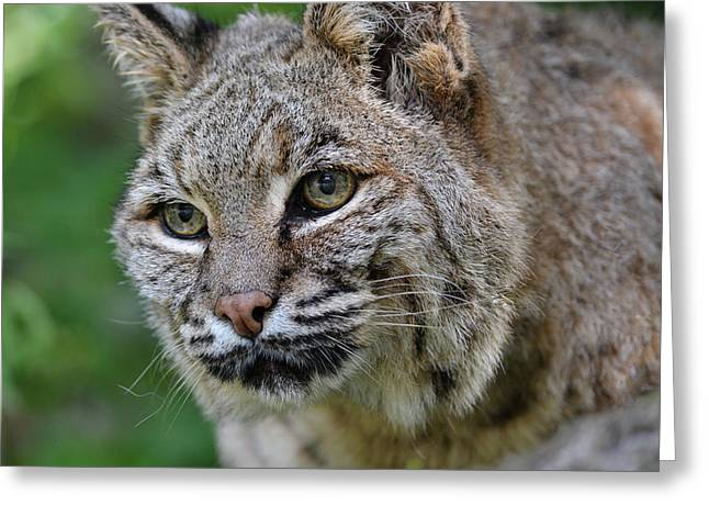 Bobcat In The Trees Greeting Card