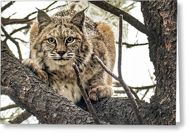Bobcat In Winter Greeting Card