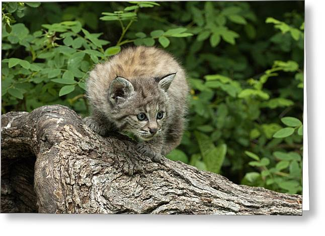 Bobcats Photographs Greeting Cards - Bobcat Kitten Exploration Greeting Card by Sandra Bronstein