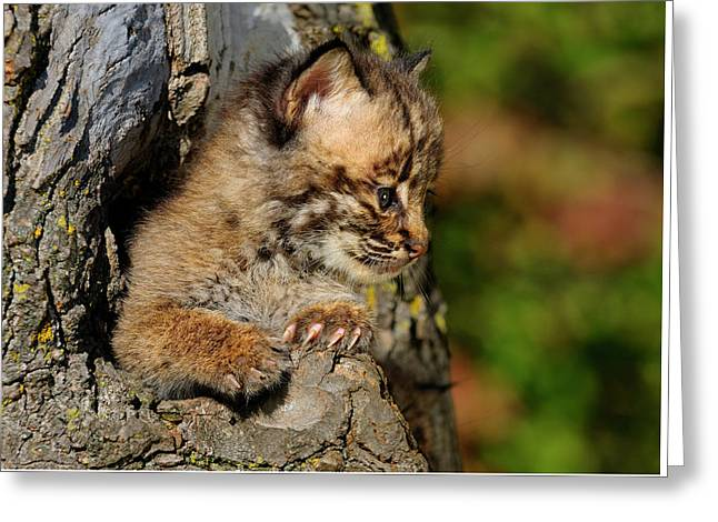 Bobcat Kitten Looking Out From A Hollow Tree Den In An Autumn Fo Greeting Card by Reimar Gaertner