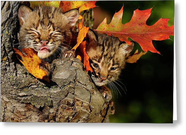 Bobcat Kitten With Eyes Closed Licking Nose In A Tree Hollow Den Greeting Card by Reimar Gaertner
