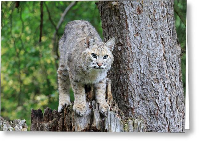 Bobcat Greeting Card by Louise Heusinkveld