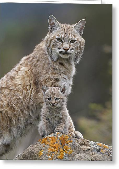 Bobcat Mother And Kitten North America Greeting Card