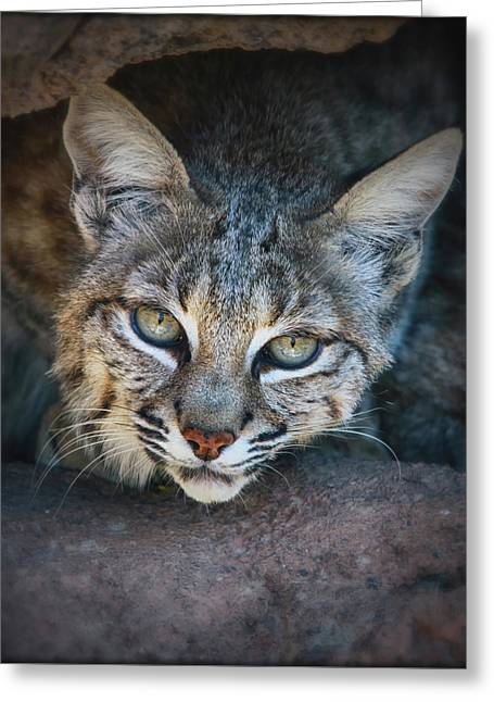 Bobcat Stare Greeting Card by Elaine Malott