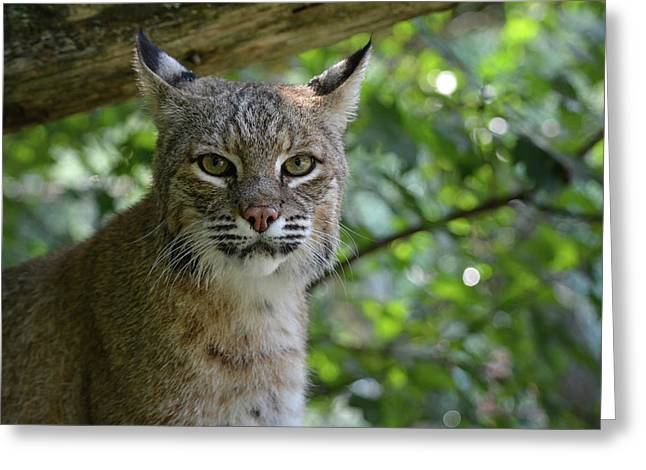 Bobcat Staring Contest Greeting Card