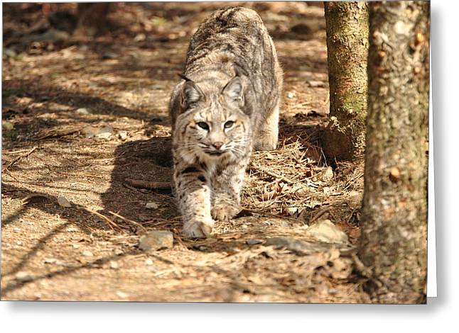 Bobcat Greeting Card by Terri McLellan