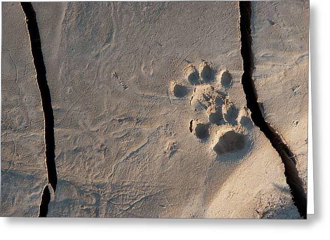 Bobcat Tracks Greeting Card by Jim and Lynne Weber