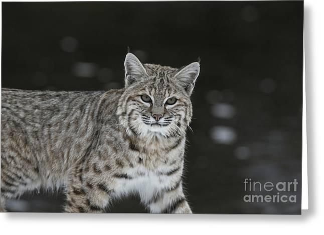 Bobcat Walks By The Stream Greeting Card by Carol Walker