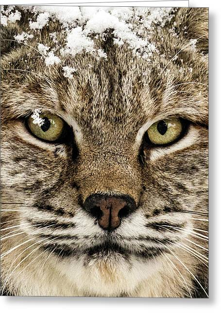 Bobcat Whiskers Greeting Card