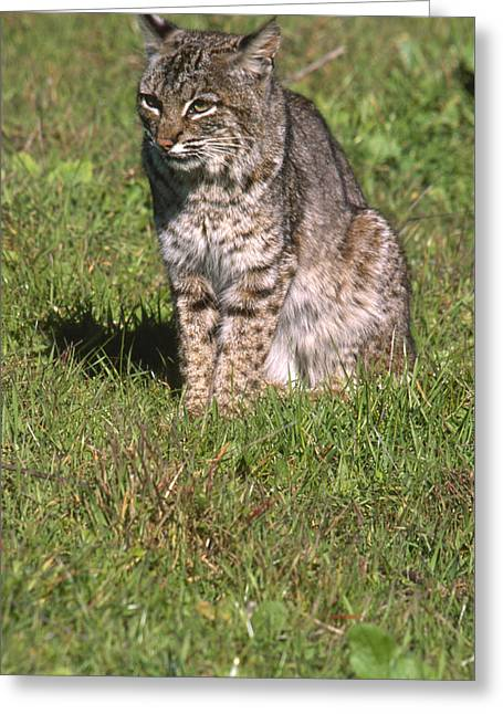 Bobcat - Wildcat Beach Greeting Card by Soli Deo Gloria Wilderness And Wildlife Photography