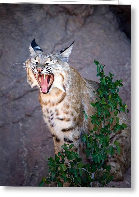 Bobcat Yawn Greeting Card