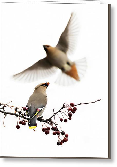 Greeting Card featuring the photograph Bohemian Waxwings by Mircea Costina Photography