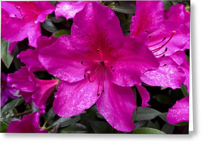 Bold Pink Flower Greeting Card