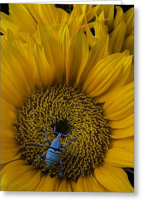 Boll Weevil On Sunflower Greeting Card by Garry Gay