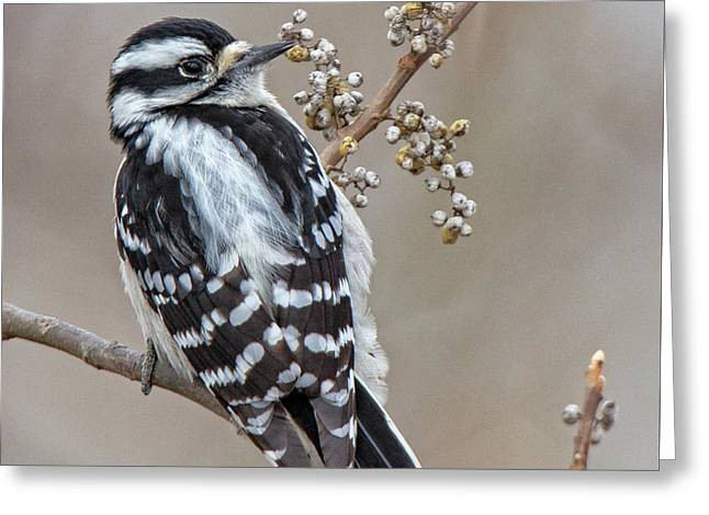 Greeting Card featuring the photograph Bombay Hook Woodpecker by Robert Pilkington