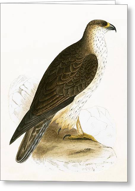 Bonelli's Eagle Greeting Card by English School