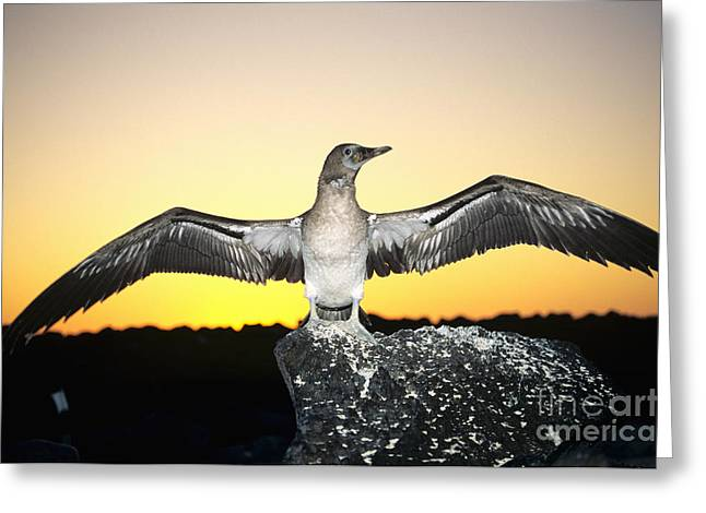 Booby At Sunset Greeting Card by Dave Fleetham - Printscapes
