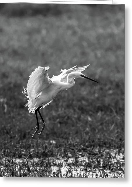Book_cover_snowy Egret Greeting Card by Ramabhadran Thirupattur